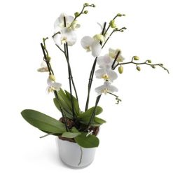 Witte orchidee in pot middel