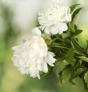 Zomerbloemen - pioenen