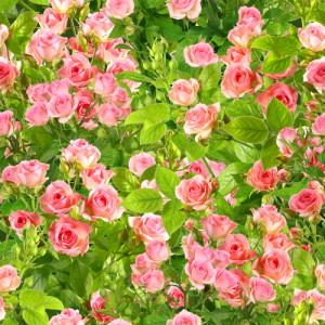 Rozen zijn echte zomerbloemen