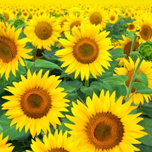 Zomerbloemen de zonnebloemen