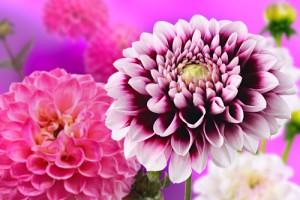 zomerbloemen dahlia